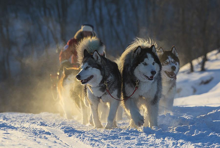 Гонка на собачьих упряжках Волга Квест. Из архива гонки
