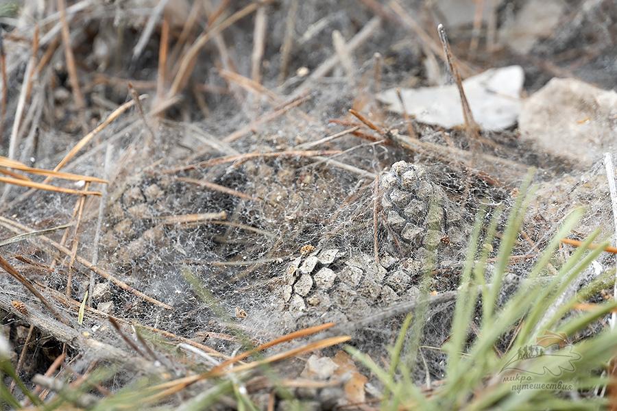 Сосновые шишки покрытые паутиной снежной плесени