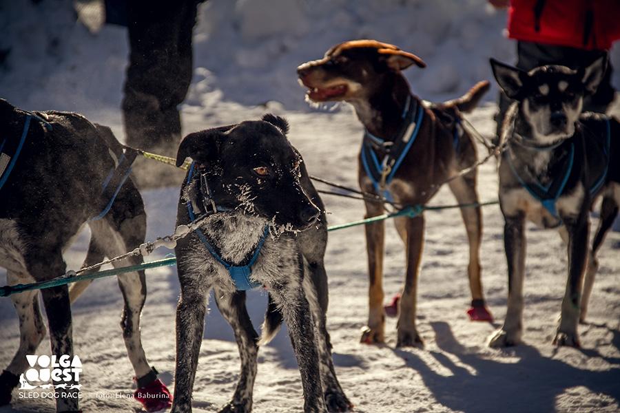 Короткий отдых на гонке на собачьих упряжках